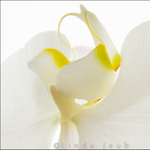 White Orchid Detail