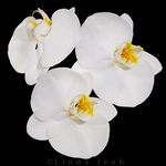 Three Orchid Faces