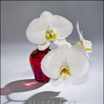 Red Vase Orchid